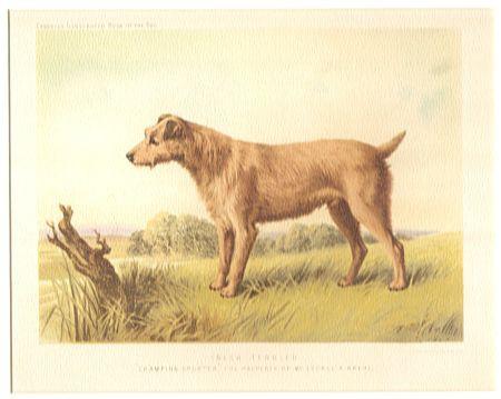 Kunstdruck - Irish Terrier Champion Sporter