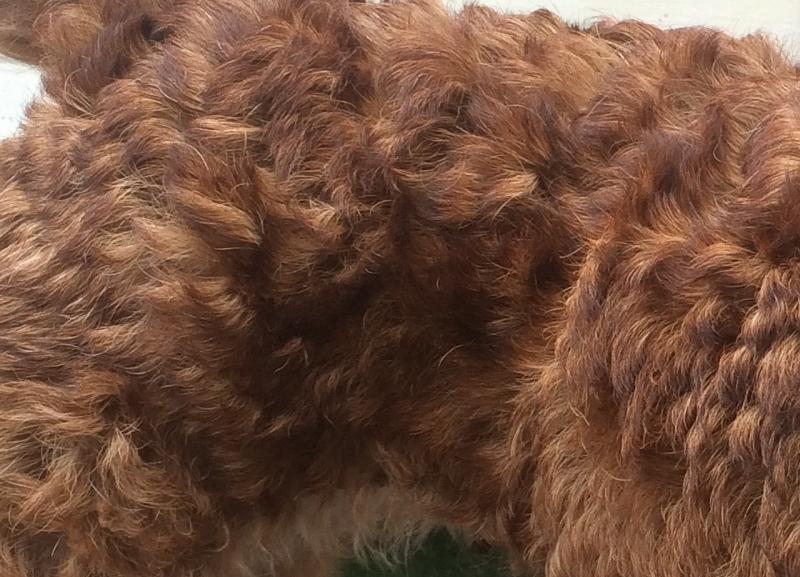 Terrier-trimmen-welliges-Fell-leichte-Unterwolle-1-800x577