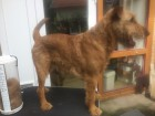Irish-Terrier-Zwischentrimm-Pflege-Maschine-2
